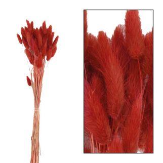 Fleurs séchées lagurus rouge