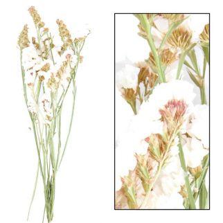 Limonium fleurs séchées